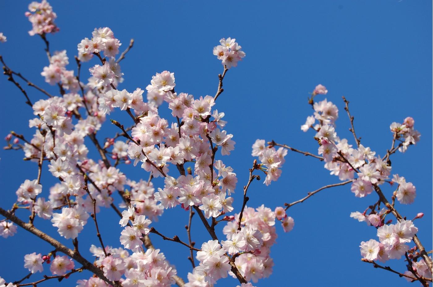 Calicanto Fiore D Inverno azione - settimanale di migros ticino il ciliegio che
